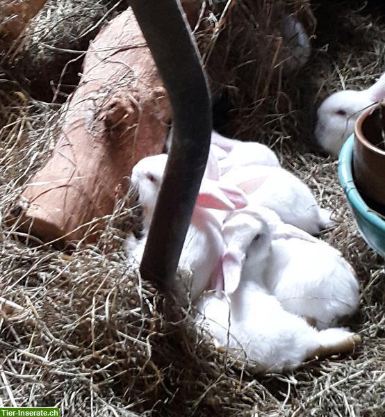 franzwidder deutscher riesen kaninchen zu verkaufen tierinserat 294029. Black Bedroom Furniture Sets. Home Design Ideas