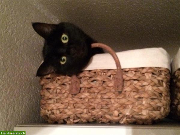 schwarze wundersch ne familien katze sucht ein neues zuhause tierinserat 291322. Black Bedroom Furniture Sets. Home Design Ideas