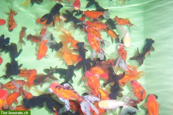 Japan koi teichmuscheln edelkrebse biotopfische vom for Koi 9 en israel