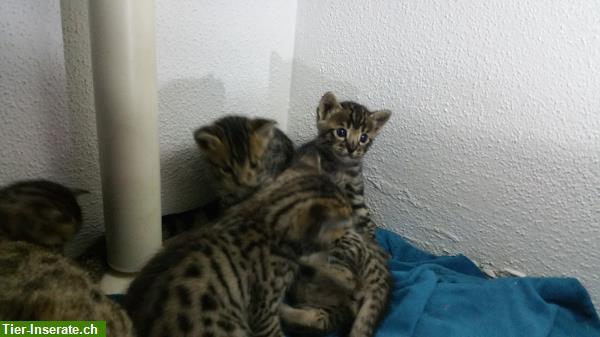 savannah kitten f5 sbt reinrassig mit stammbaum tierinserat 283814. Black Bedroom Furniture Sets. Home Design Ideas