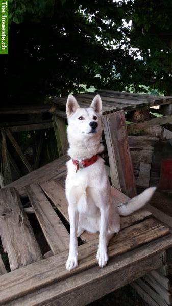 schlittenhund husky h ndin zu verkaufen tierinserat 296794. Black Bedroom Furniture Sets. Home Design Ideas