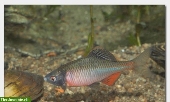 Biotopfische aus deutscher zucht bei fa f rdefisch Teichfische deutschland